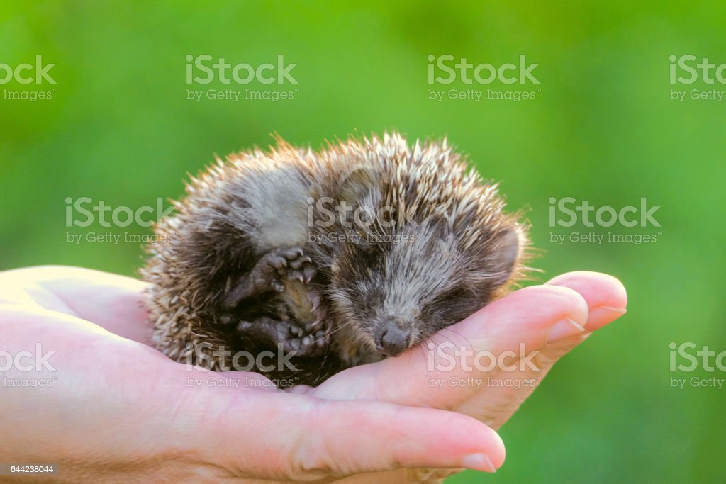 Hedgehog on hand. Small is a young hedgehog curled up on the palm. stock photo
