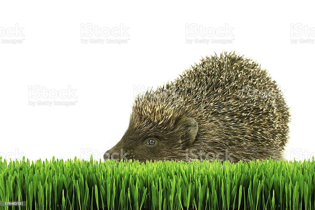 Hérisson sur l'herbe isolé photo libre de droits
