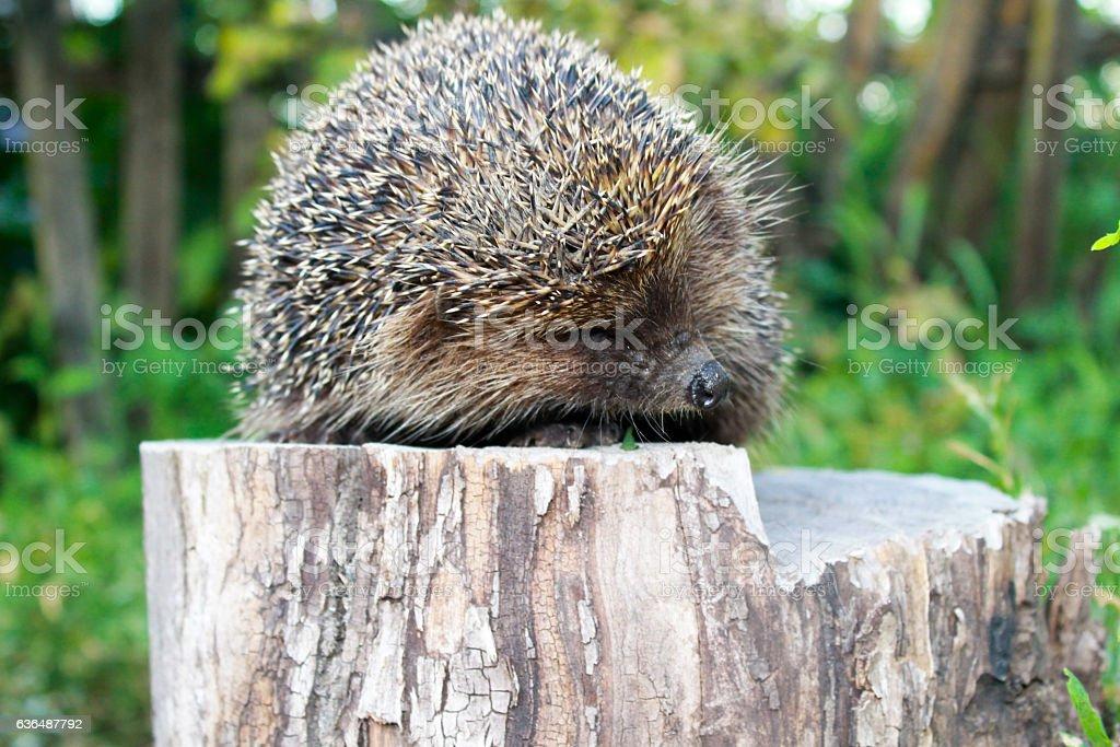 Hedgehog on the log stock photo