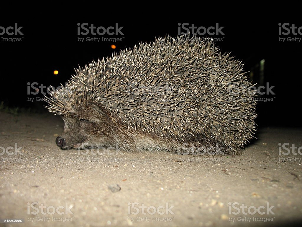 hedgehog on the street stock photo