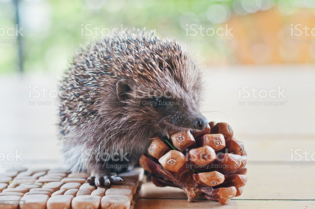 hedgehog on the wooden table with cons stock photo