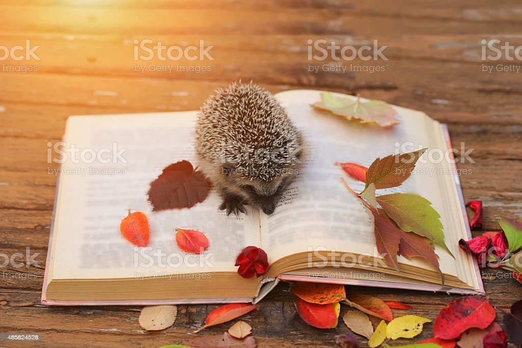 Hedgehog open book autumn leaves wooden background stock photo
