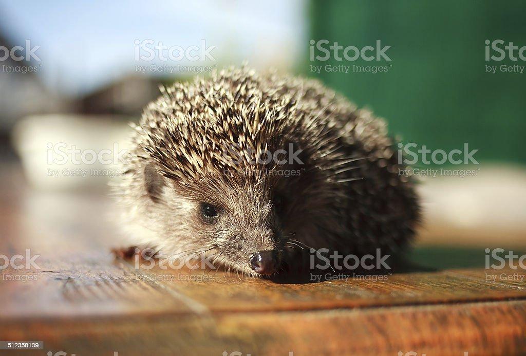 Hedgehog ordinary stock photo