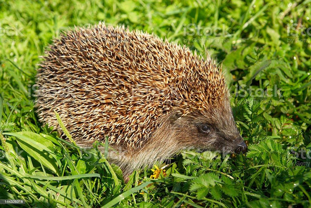 Hedgehog royalty-free stock photo