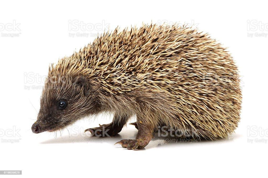 Hedgehog stock photo