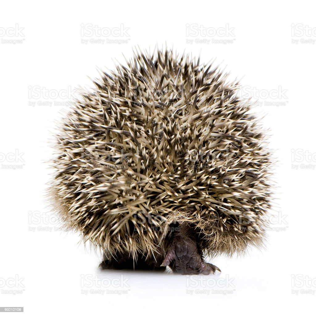 hedgehog (1 mounths) royalty-free stock photo