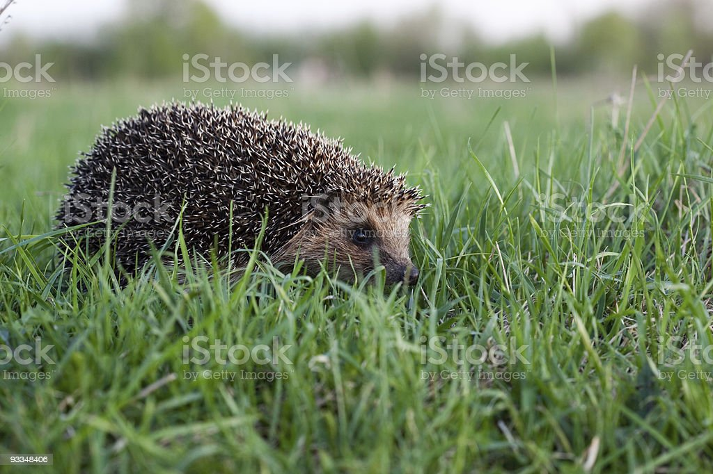 Hedgehog (Erinaceus europaeus) royalty-free stock photo