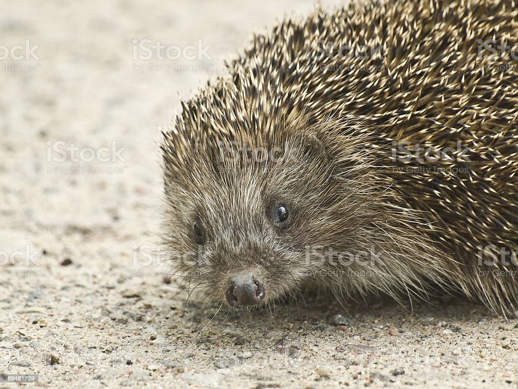 Hedgehog portrait royalty-free stock photo