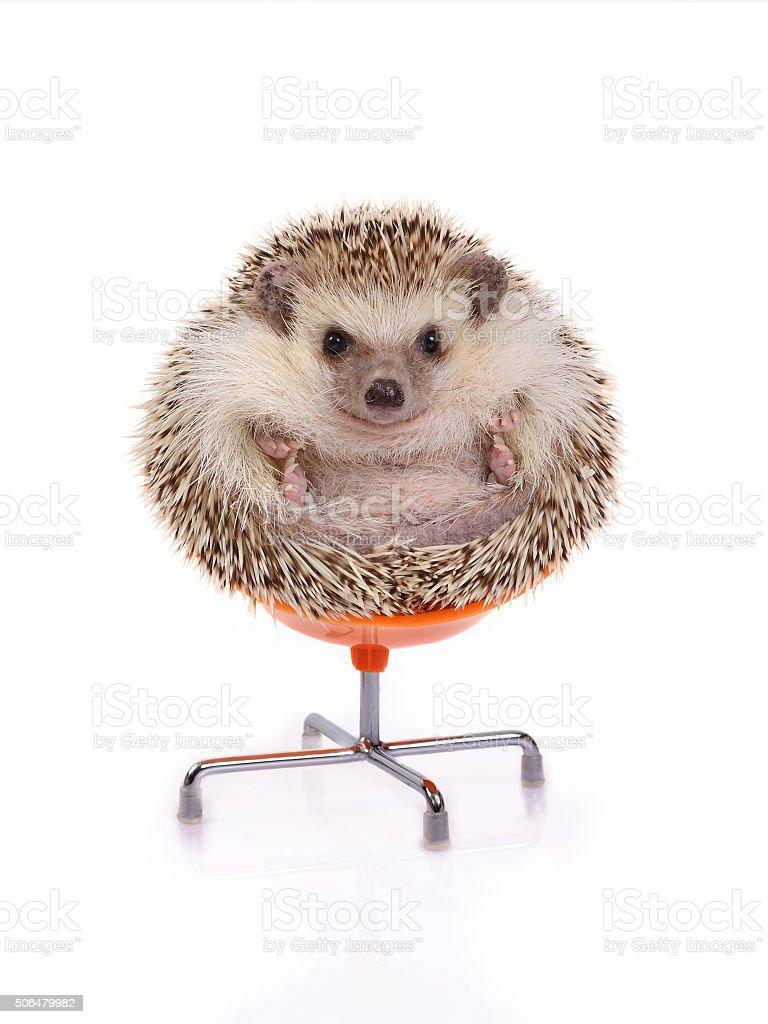 Hedgehog sitting on chair. stock photo