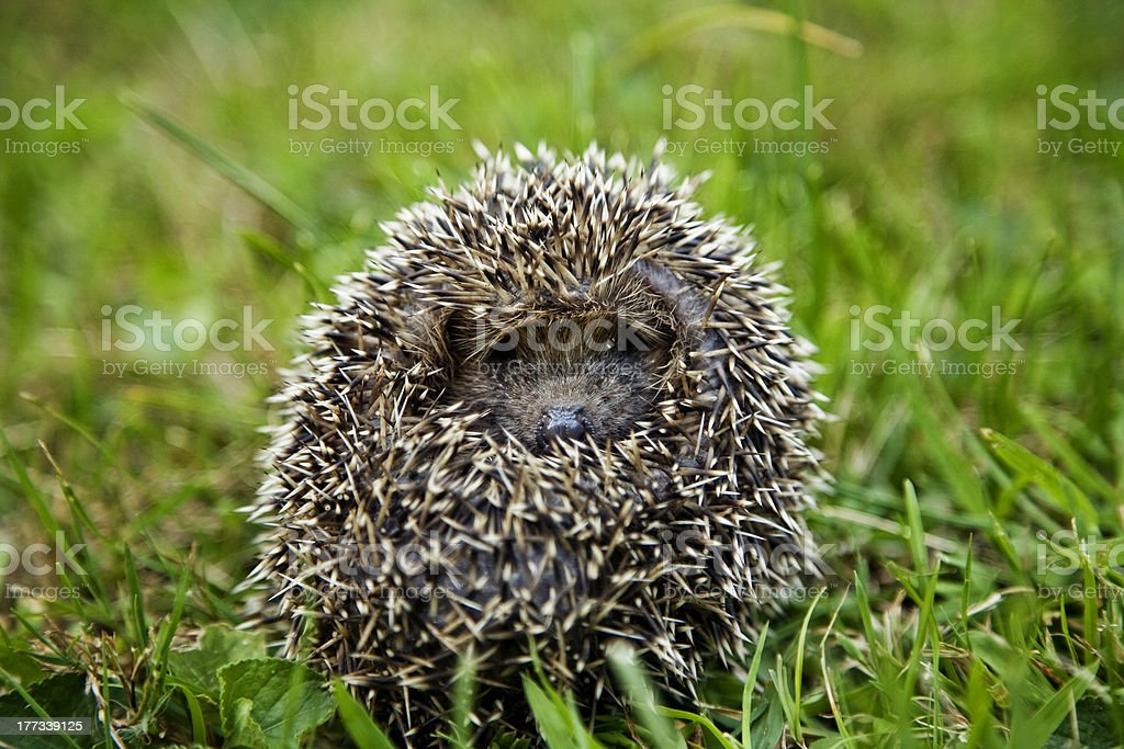 Hedgehog sitting on grass royalty-free stock photo