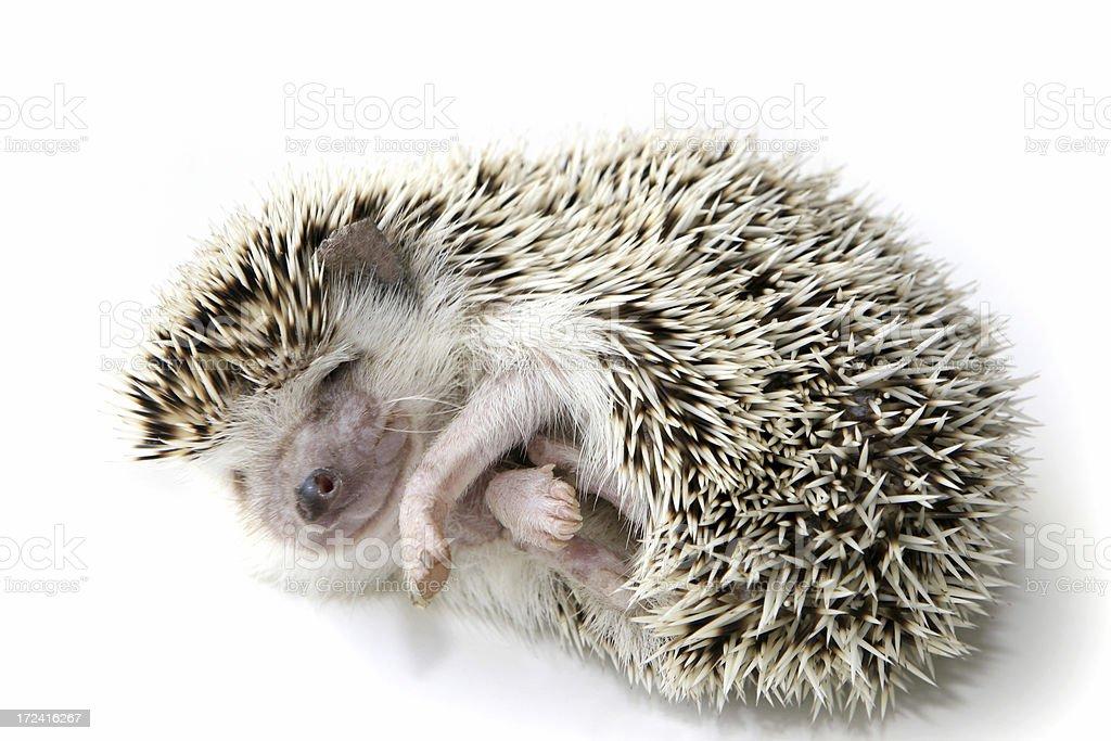 Hedgehog Sleeping stock photo
