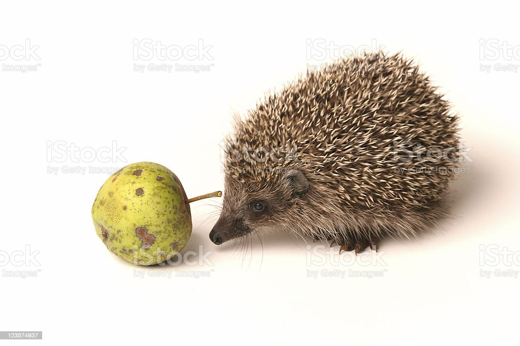 Hedgehog sniffing around an apple royalty-free stock photo