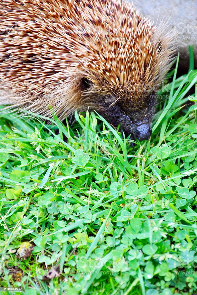Hedgehog sniffling in the Grass stock photo