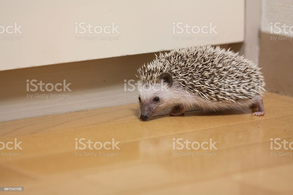 Hedgehog that prowl in the room stock photo