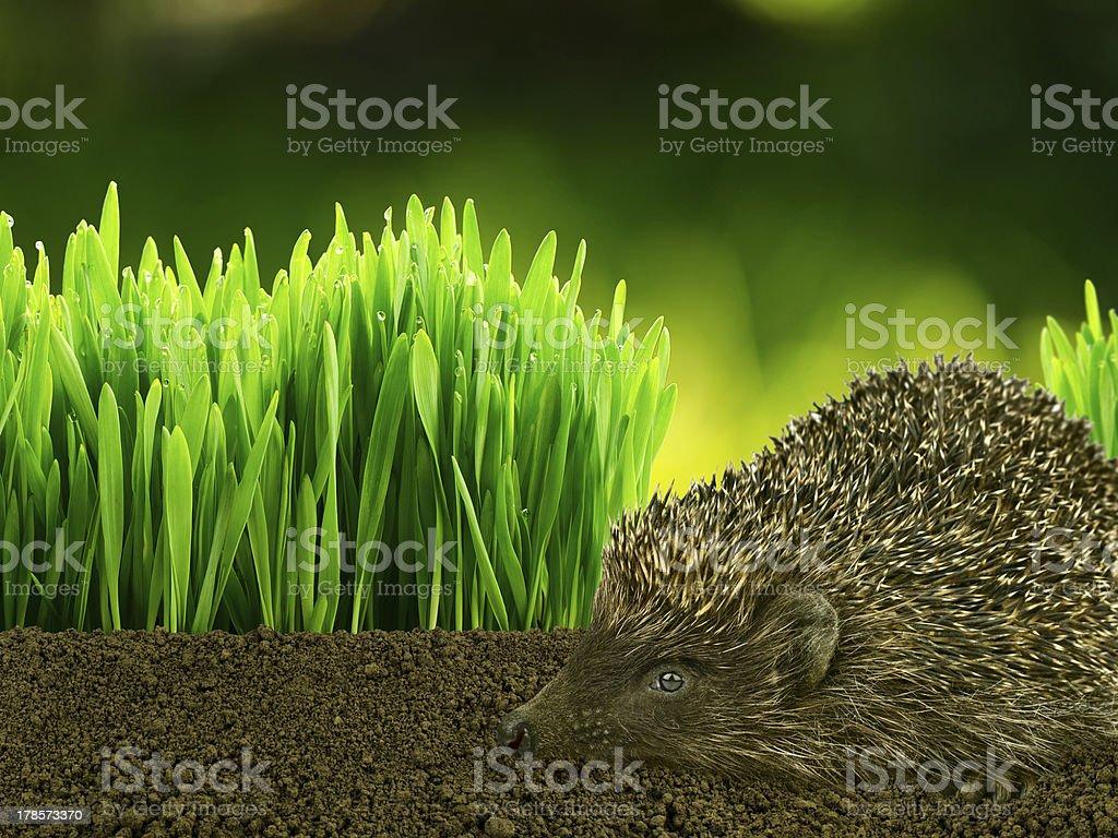 Hérisson de marche sur l'herbe dans le jardin photo libre de droits