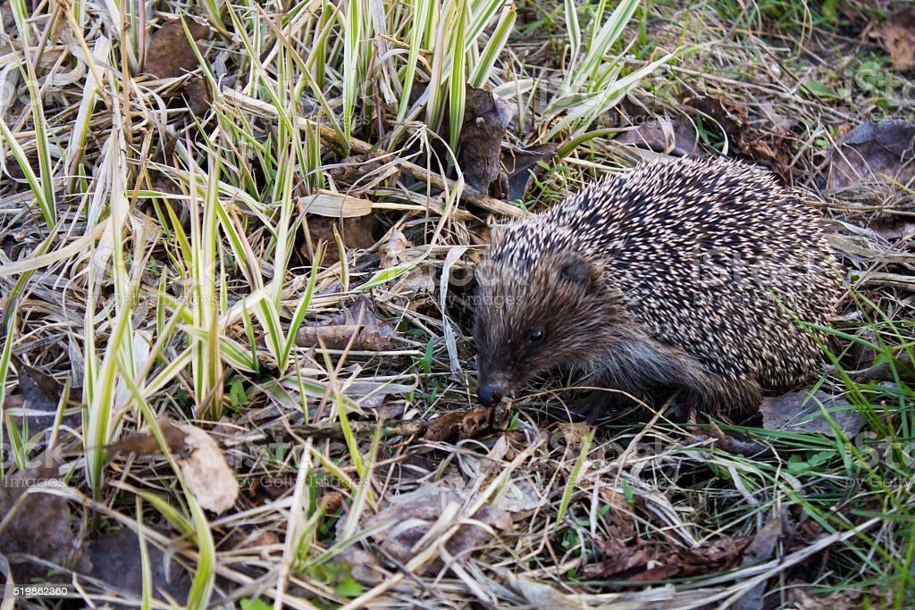 Hedgehog walking on grass in the garden stock photo