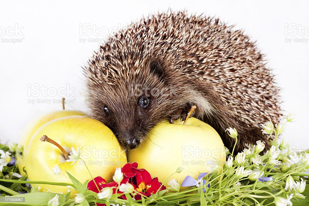 hedgehog, wild flowers and apples stock photo