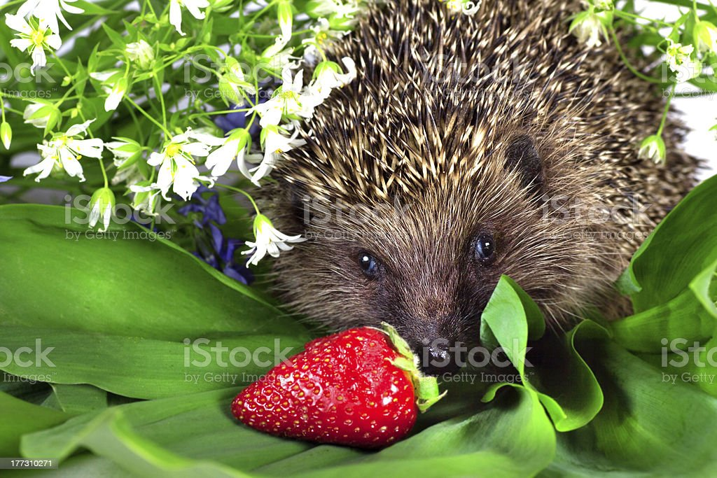 hedgehog, wild flowers and ripe strawberry stock photo