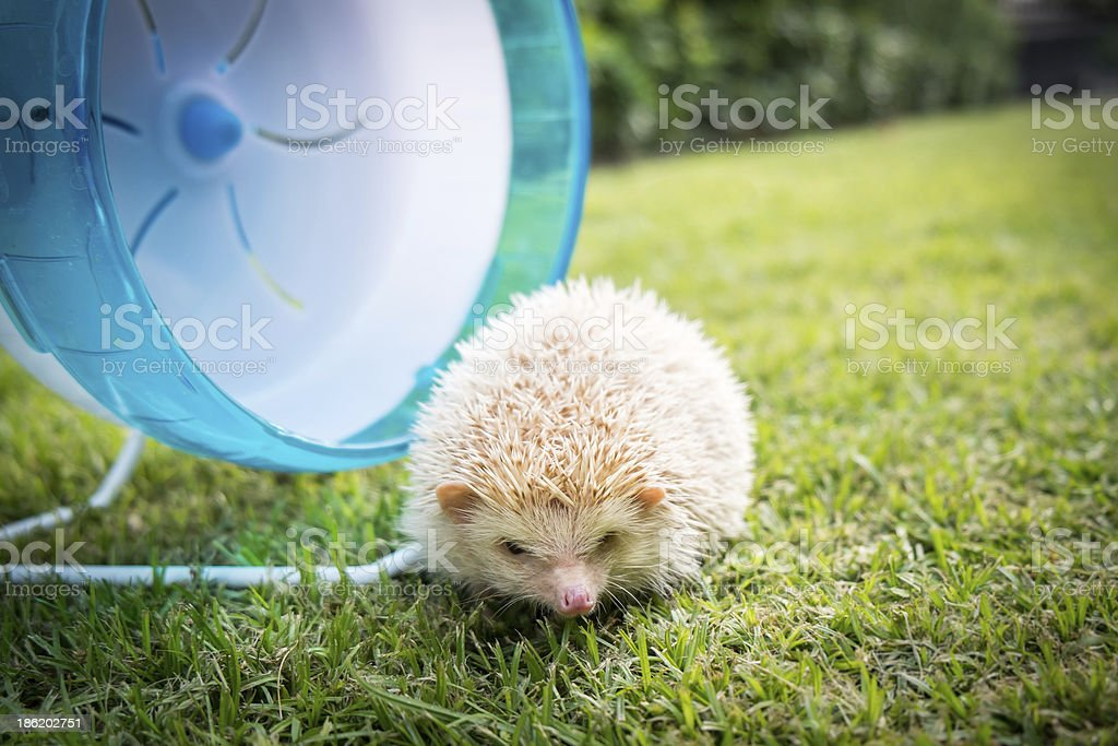 Hedgehog with a blue wheel royalty-free stock photo