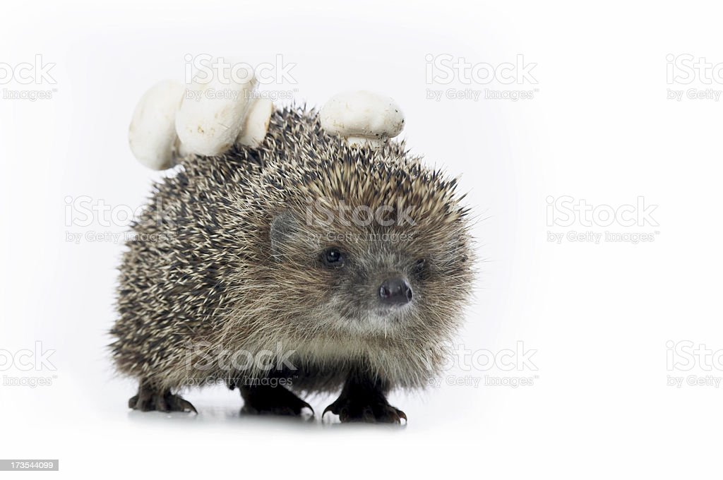 Hedgehog with mushrooms royalty-free stock photo
