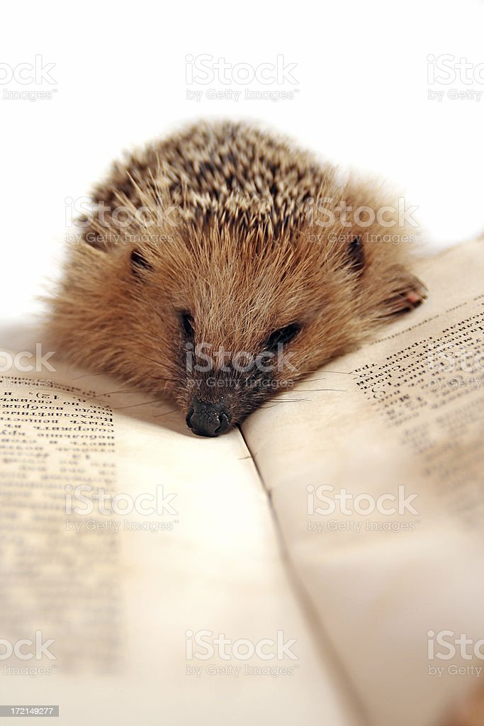 hedgehog with the book stock photo