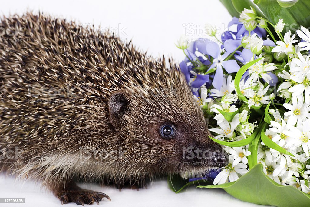 Hedgehog with wild flowers stock photo