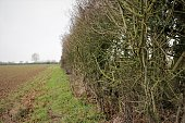 Hedgerow and Ploughed Field