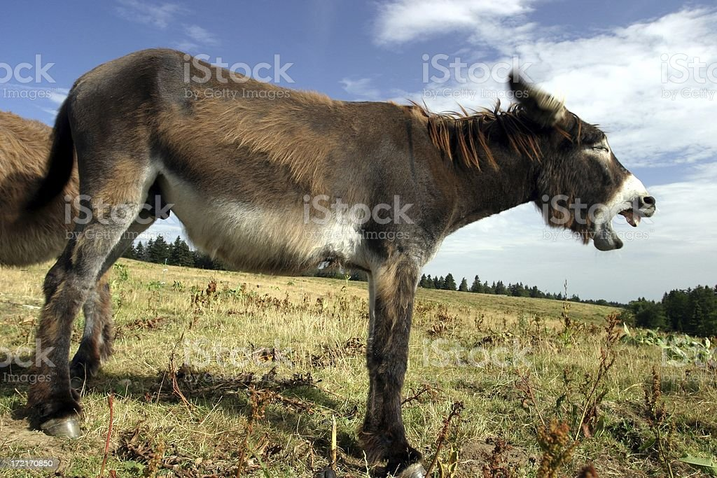 heehaw! royalty-free stock photo