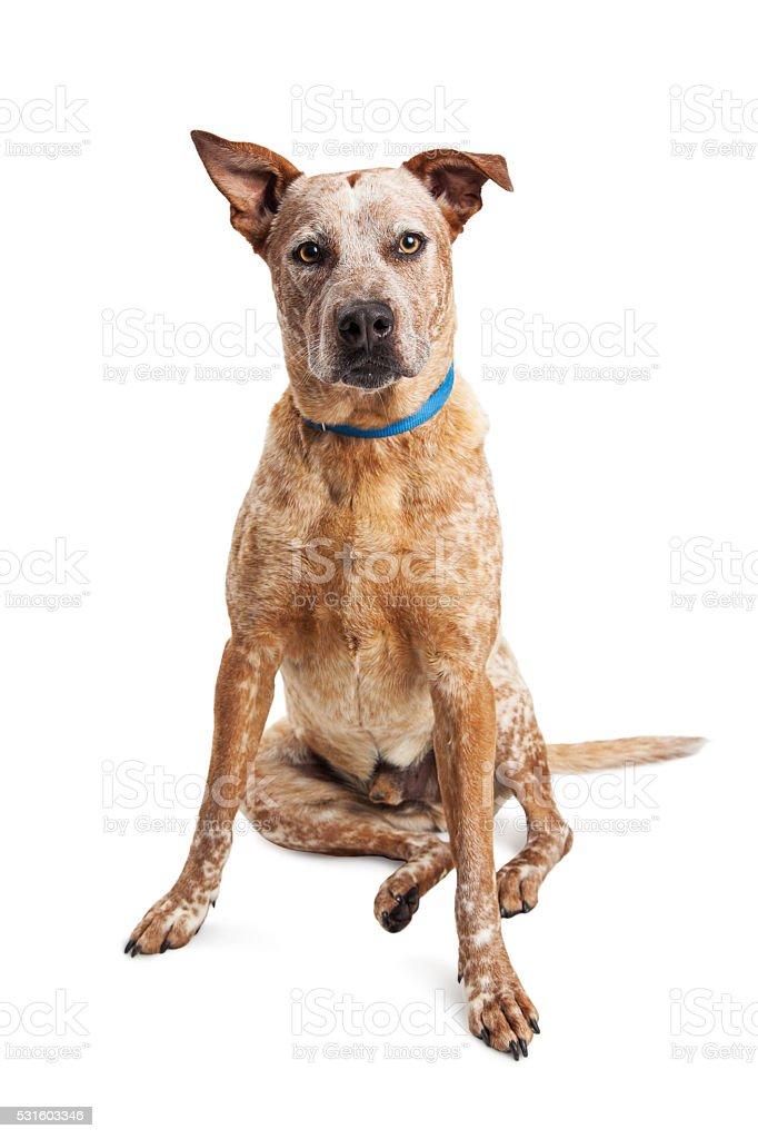 Heeler Crossbreed Dog Sitting Over White stock photo