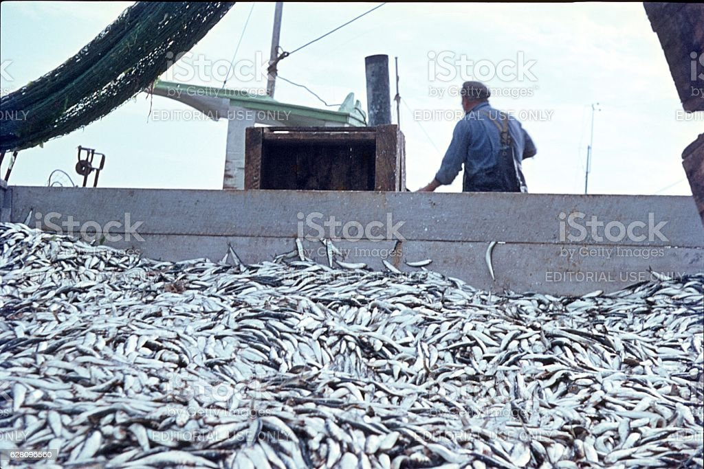 Heerings caught in the North Sea stock photo