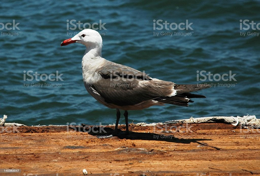 Heermann's Gull in Mission Bay of San Diego, CA stock photo