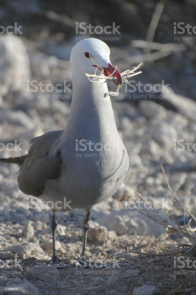 Heermann's gull, Larus heermanni royalty-free stock photo