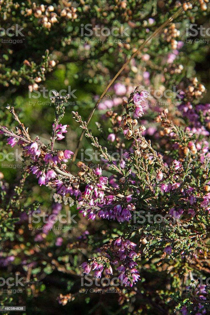 Heidekraut mit Blüten stock photo