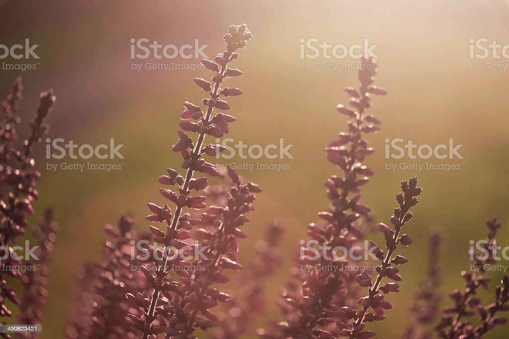 Heidekraut stock photo