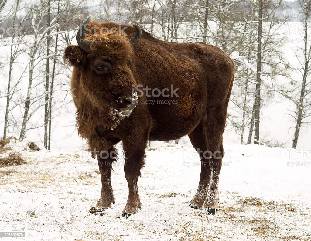 Heifer on the forest background. Altai Breeding bison place. stock photo