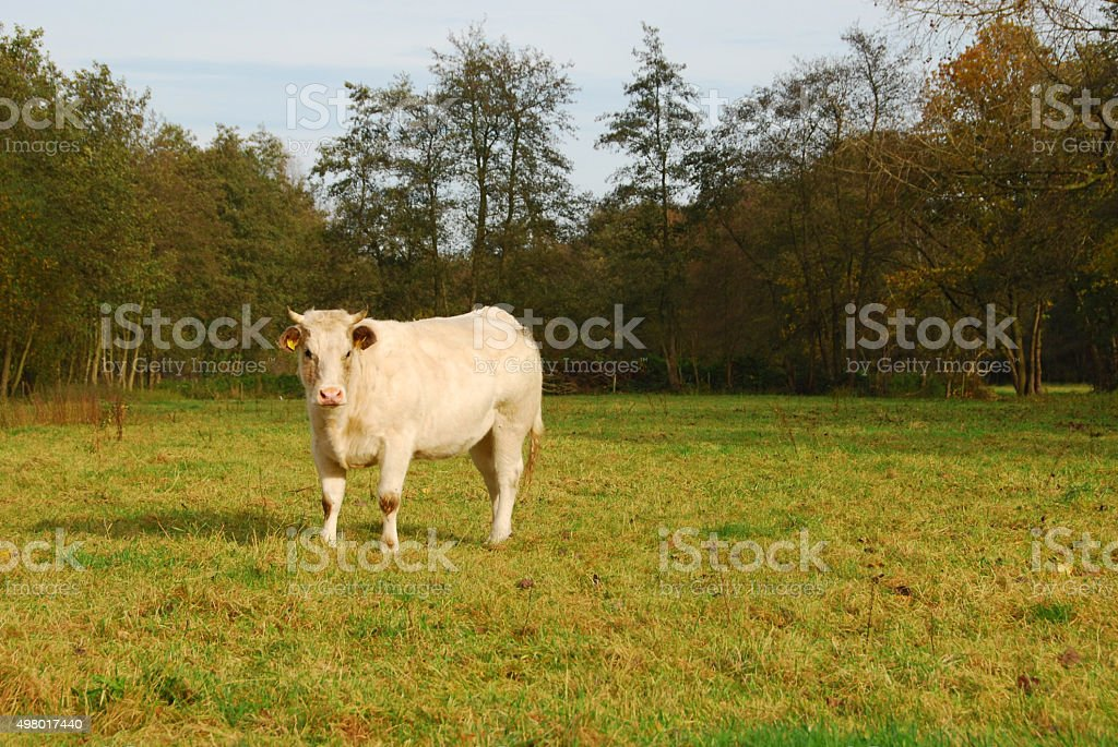 Heifer shorthorn standing in a Pasture stock photo