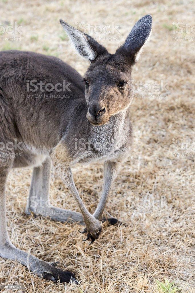 Heirisson Island Kangaroo stock photo