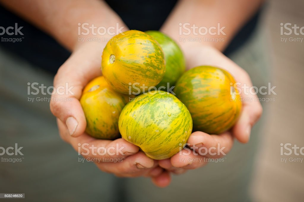 Heirloom green zebra tomatoes in young farmer's hands stock photo