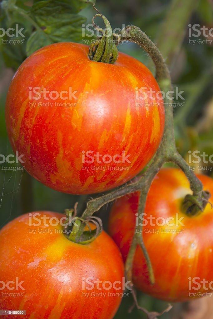 Heirloom Tomato on the vine stock photo