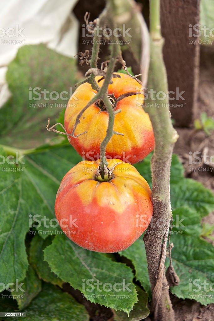 Heirloom tomato plant stock photo