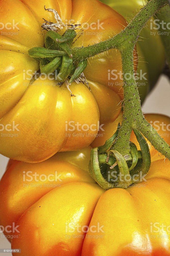 Heirloom tomatoes in the garden stock photo