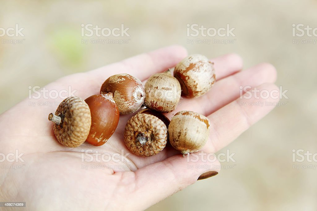 held in the palm bunch of acorns stock photo