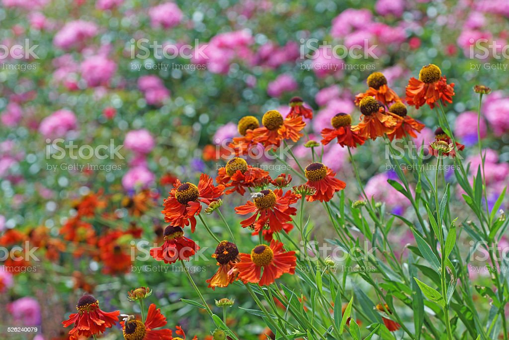 Helenium and rose flowers stock photo