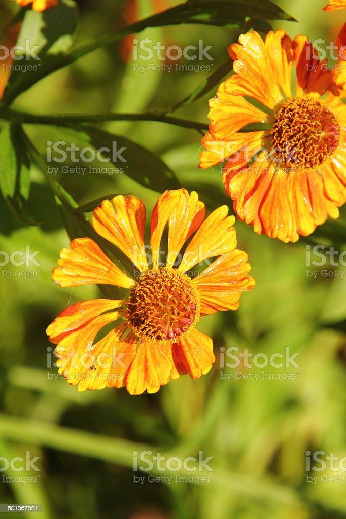 Helenium. Flower. royalty-free stock photo