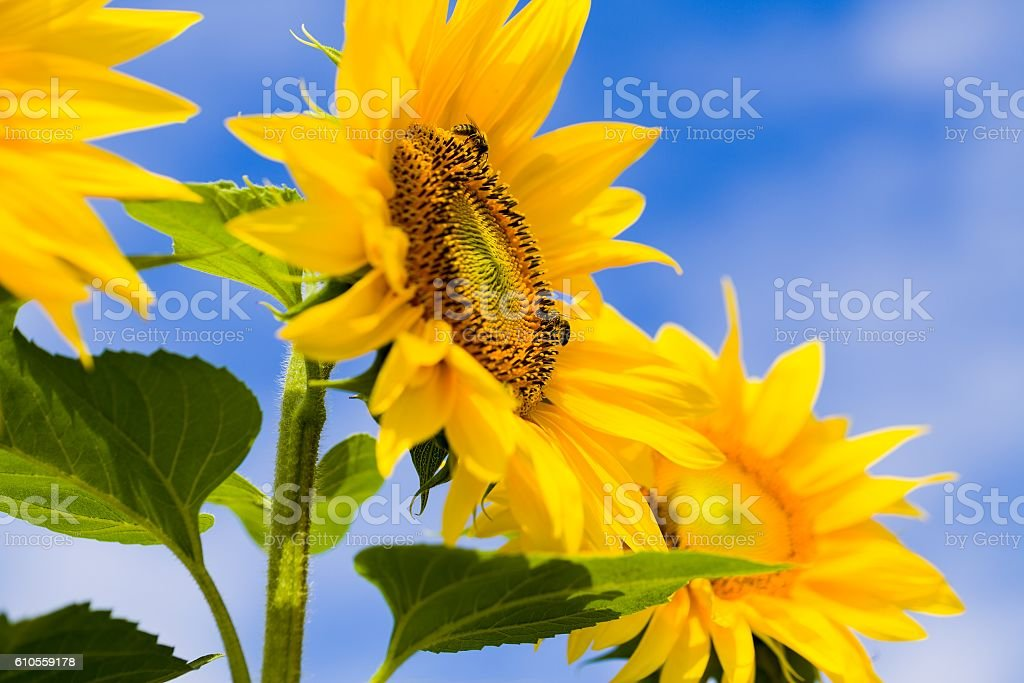Helianthi Annui and Honeybees stock photo