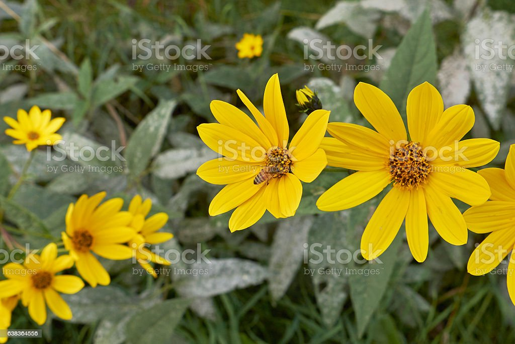 Helianthus tuberosus stock photo