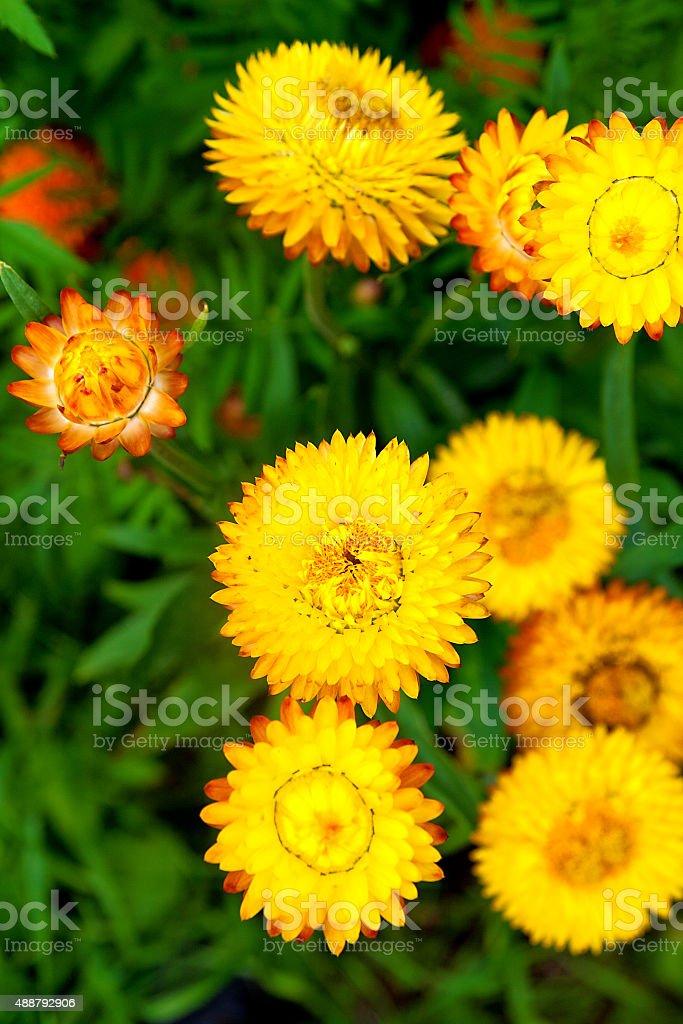Helichrysum o perpetua amarilla en el jardín al aire libre, Helichrysum bract foto de stock libre de derechos