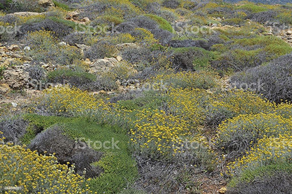 Helichrysum stoechas 花開きます。 ロイヤリティフリーストックフォト