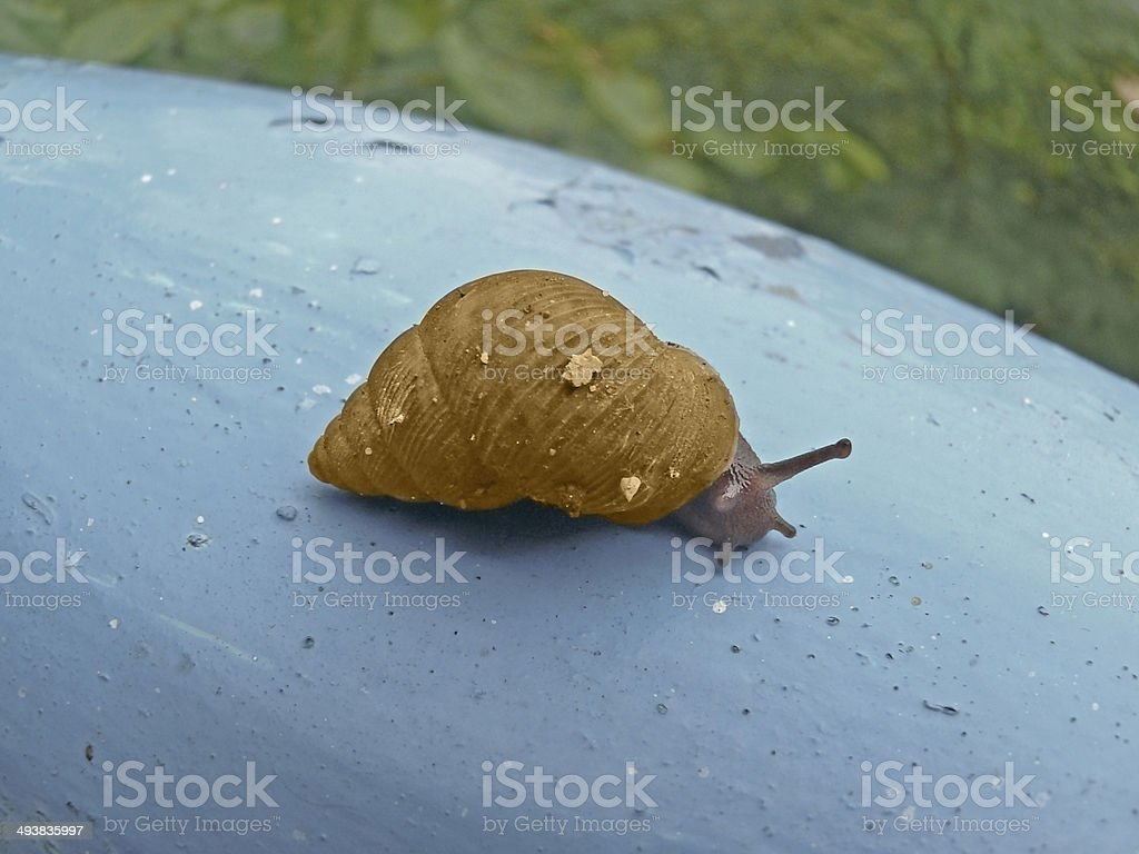 Helicidae, Roman snail, Edible snail, royalty-free stock photo