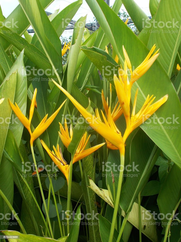 heliconia at the tree stock photo